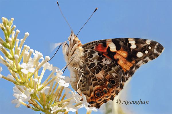 August 30_Butterfly Painted LadySM_Regina Geoghan_0630