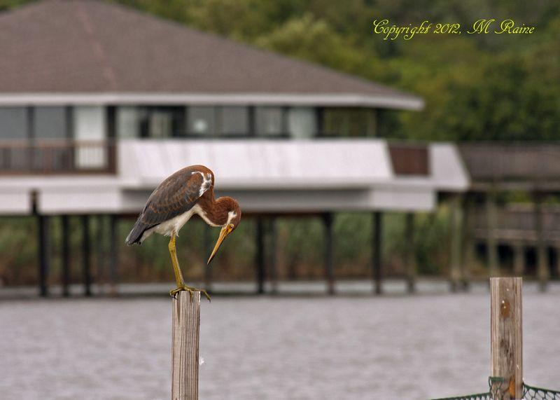 B Heron Tri-Colored 001g5B RchrdDKorte Park Mdwlnds NJ Young Near Adult 7x5h FAR 081412 OK BLOG