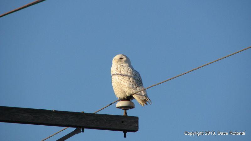 1-Snowy Owl 1-17-09