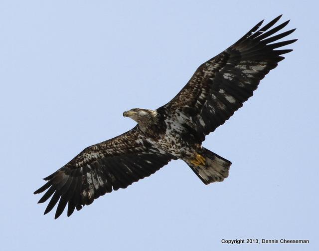 1-bald eagle