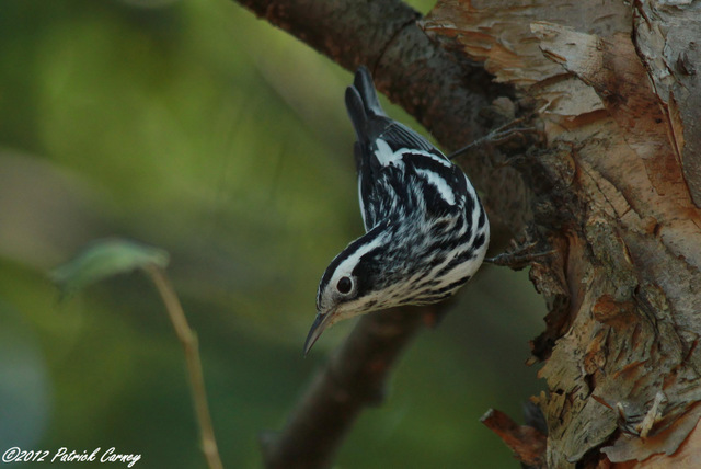 Black and White Warbler 2012 360