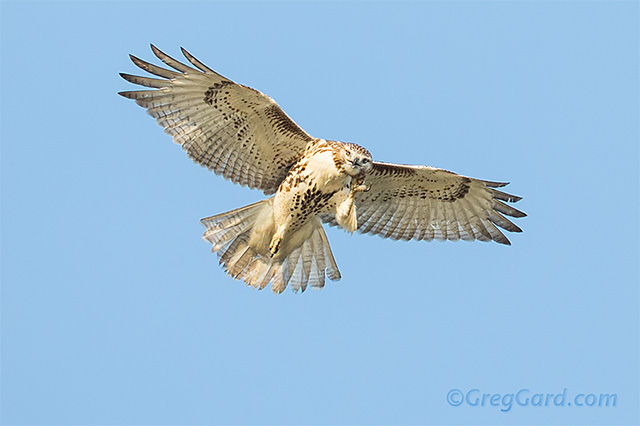 Red-tailed-hawk-Buteo-jamaicensis-dekorte-greg-gard-20120925-_B4A7327 copy