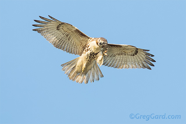 Red-tailed-hawk-Buteo-jamaicensis-dekorte-greg-gard-20120925-_B4A7329 copy