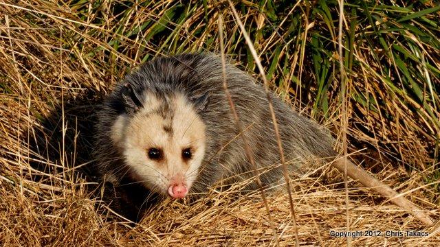Opossum Meadowlands-001