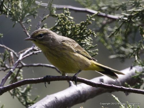 1-warbler 1