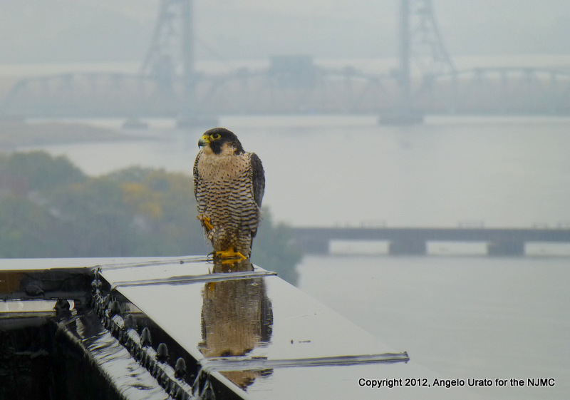 PEREGRINE FALCON - HARMON TOWER10-2-017