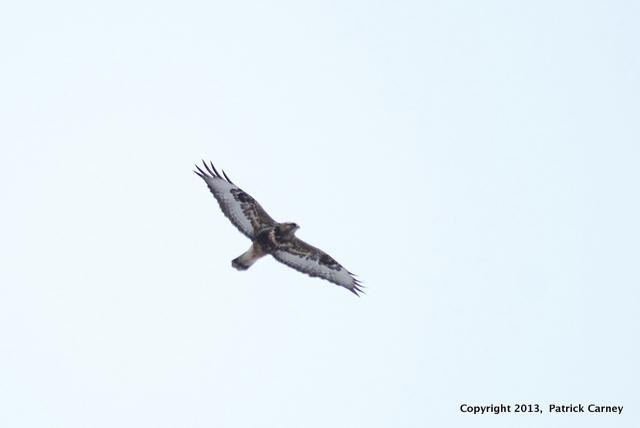 Rough-Legged Hawk(1)