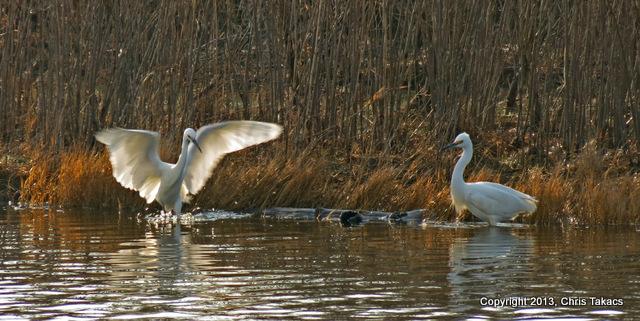 Snowy Egrets-001