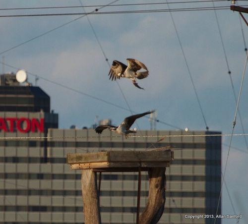 Allan osprey 3