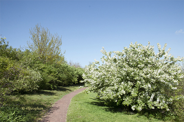 May 5_DeKorteParkSpringCrabappleTreeSM_9023-001
