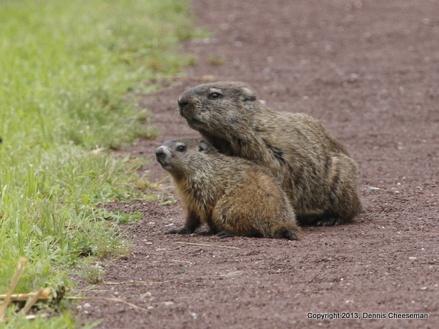 Woodchucks-001