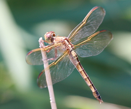Female_cherryfaced_meadowhawk_femal