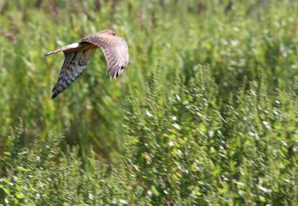Harrier_meadow_harrier