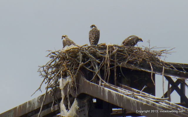 OSPREYS  AT THE BOOTON LINE BRIDGE ON THE HACKENSACK 011
