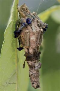 August 11_Bagworm MothSM_RTGeoghan_6986 (2)-001