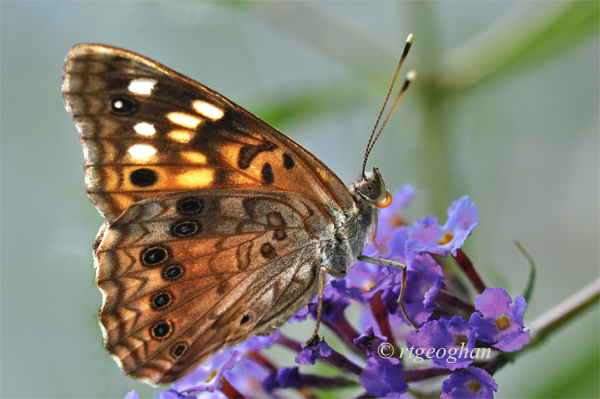 August 6_Butterfly-Hackberry EmperorSM_6532