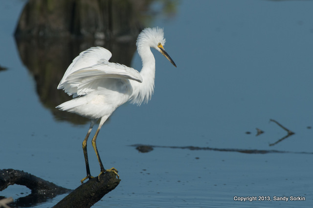 SS8_6786 lr5 Snowy Egret