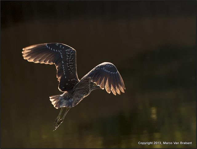 marco heron