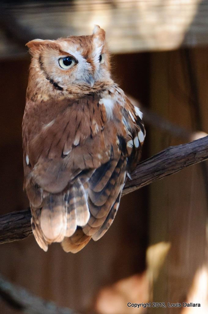 Louis Dallera Owl