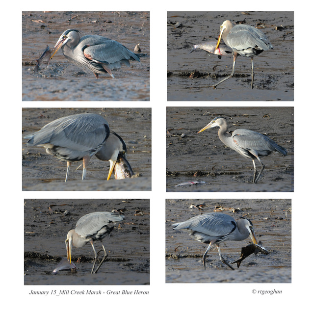 1-January 15_ Great Blue Heron-Fish Collage_ RTGeoghan
