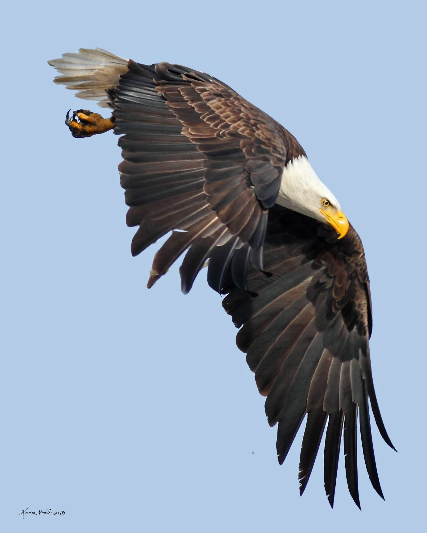 Wild Turkey Hen Decoy Killed By A Bald Eagle In New Jersey