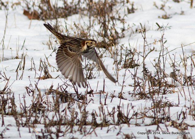 Longspur in flight