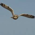 Fred Nisenholz short-eared owl
