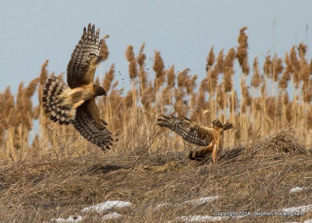 Harriers fighting-001
