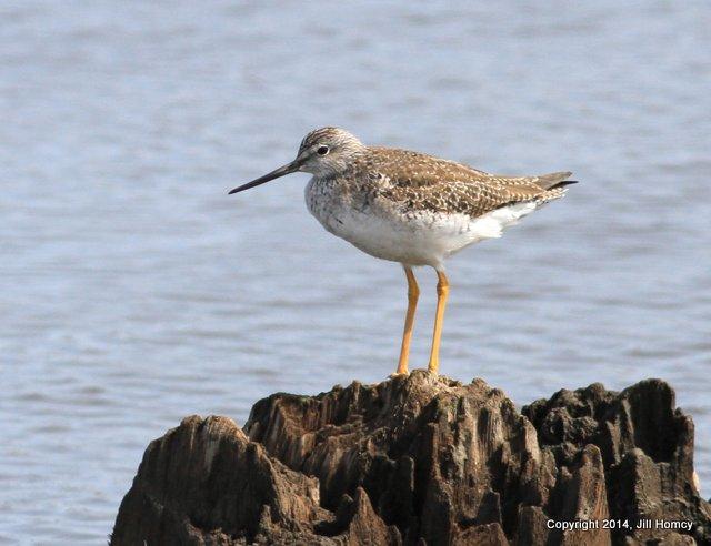 Jill Homcy photogrpahed this Greater Yellowlegs on Sunday @ Mill Creek Marsh.