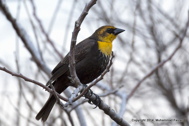 Yellow-headed Blackbird 1