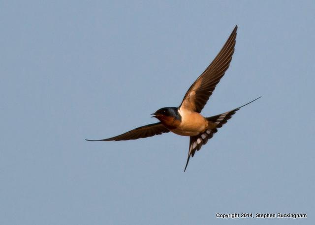 2-Barn Swallow