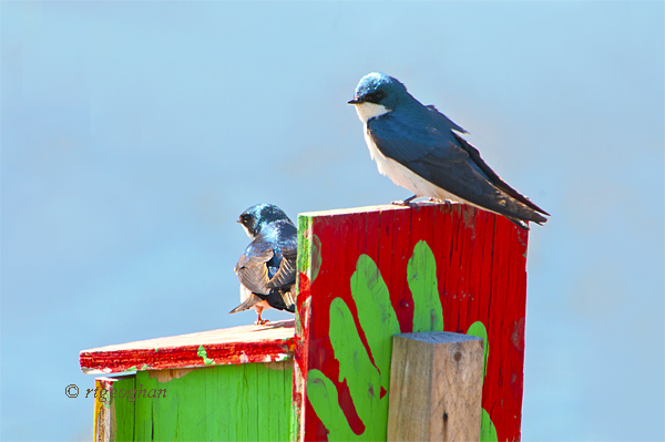 April 13_Tree Swallows-Mill CreekSM_ReginaGeoghan_5166