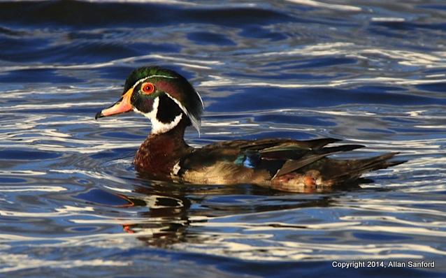 Allan Sanford Wood Duck 062914-001