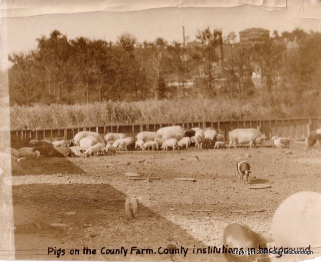 County Farm Pigs