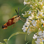 Hummingbird Clear-winged Moth