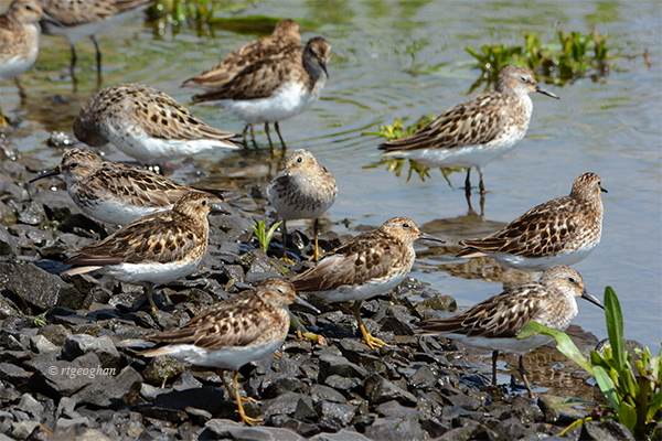 July 16_Least Sandpipers-RBP-SM_ReginaGeoghan_4157