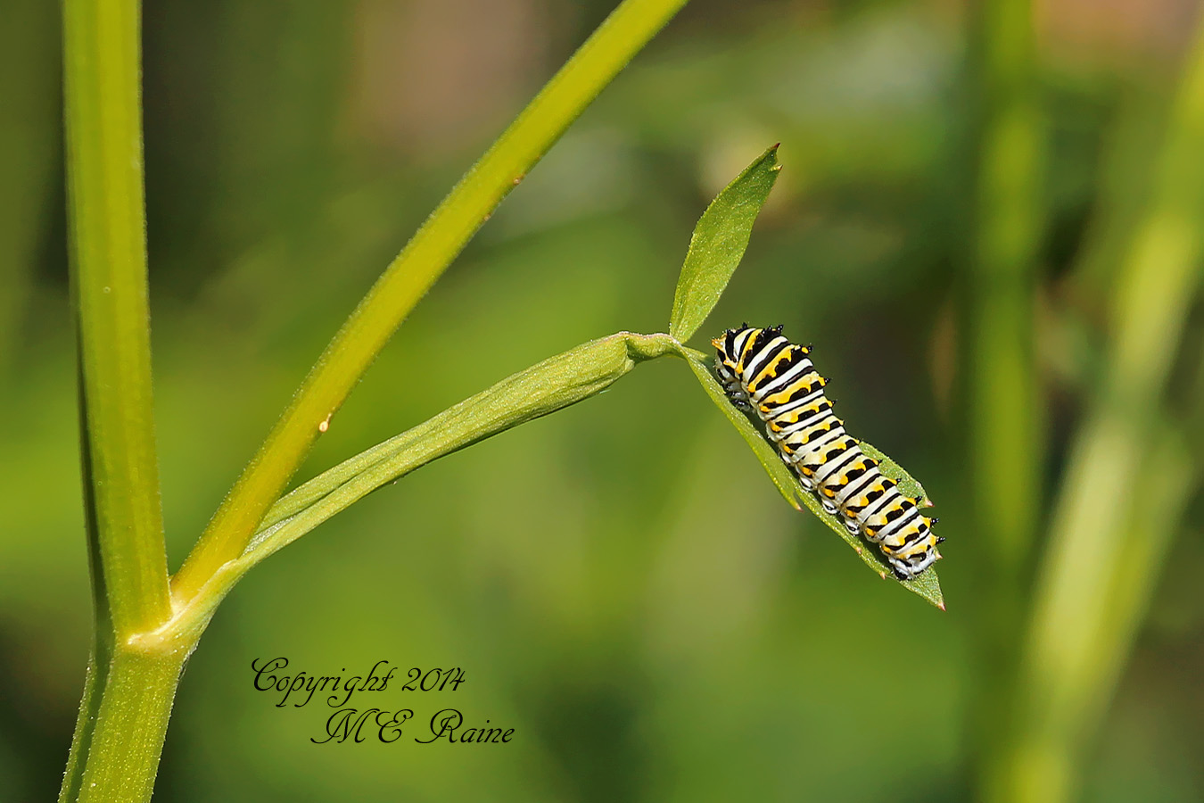 072714 FTD I Caterpillar, Black Swallowtail 001aEf RchrdDKorte Park Mdwlnds NJ 072714 OK FLICKR