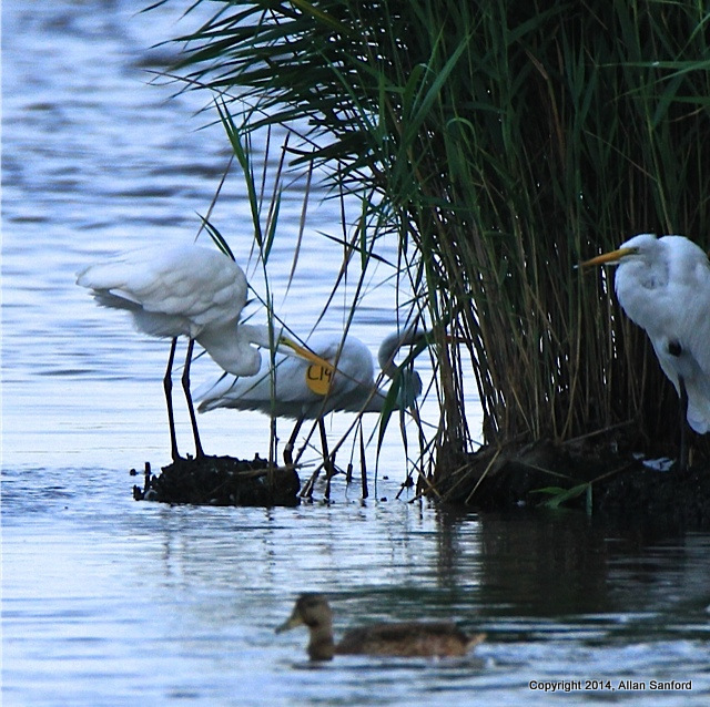 tagged egret sanford