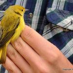 Yellow Wobbler