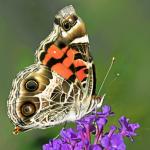 Mystery butterfly 1