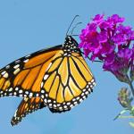 Mystery butterfly 2