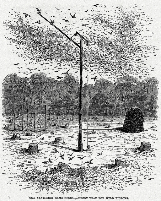 passenger pigeon decoy trap-001