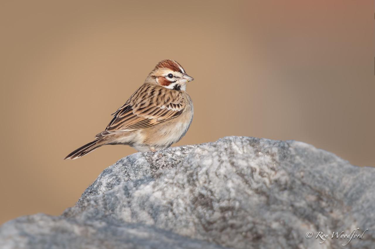 lark sparrow roy