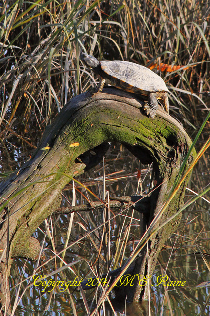 1-111114 FTD RA Turtle UnKwn Var 001Ef MCM Mdwlnds NJ 111114 OK FLICKR LABEL ID