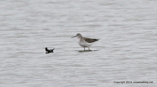 Solitary Sandpiper in the Meadowlands