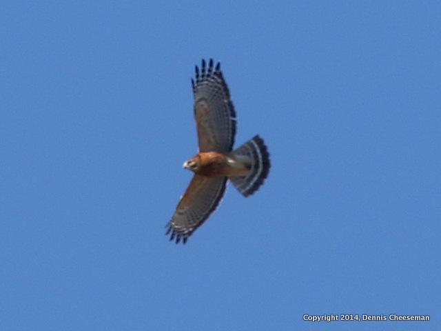 hawk(2)