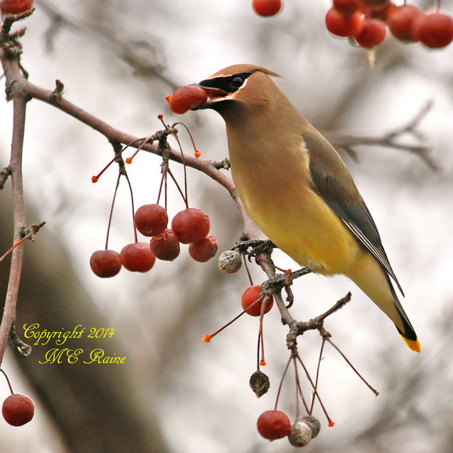 1-112914 FTD B Waxwing Cedar 003ef RchrdDKorte Park Mdwlnds NJ Twilight Hr 112914 OK FLICKR