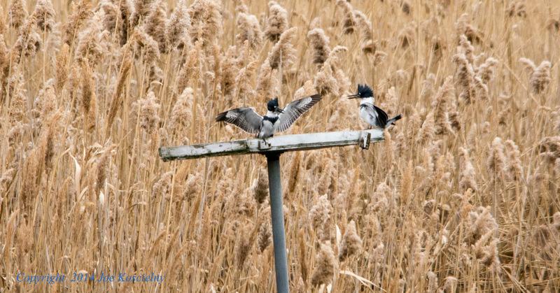 Kingfishers-1