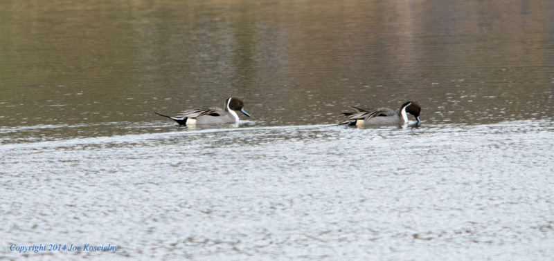Pintails-1