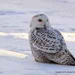 Muhammad Faizan snowy owl